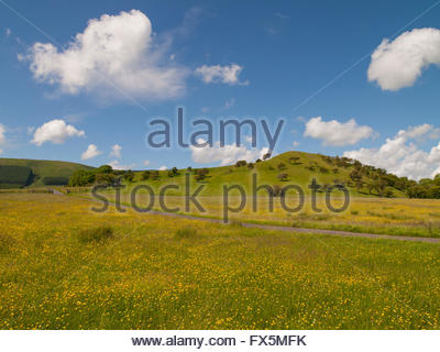 Meadow Buttercups (Ranunculus acris) Dinkling Green Farm, Little Bowland Road, Whitewell, Forest of Bowland, Lancashire, - Stock Photo