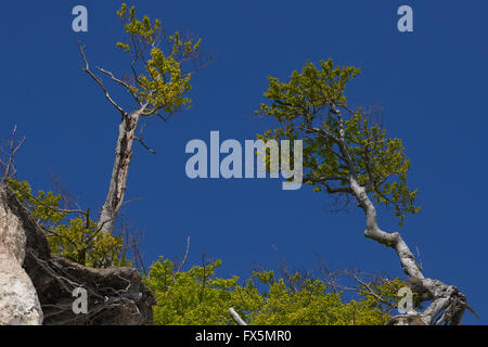 Trees at the edge of the white cliffs at Moen Denmark and blue sky - Stock Photo