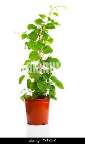 Actinidia deliciosa plant on white background - Stock Photo