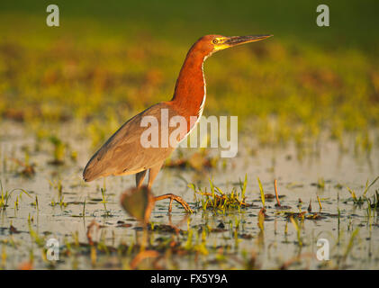 Rufescent Tiger Heron (Tigrisoma lineatum)  Pantanal, Brazil - Stock Photo