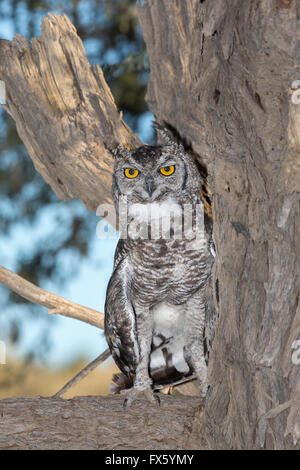 Spotted eagle owl (Bubo africanus), Kgalagadi Transfrontier Park, Northern Cape, South Africa - Stock Photo