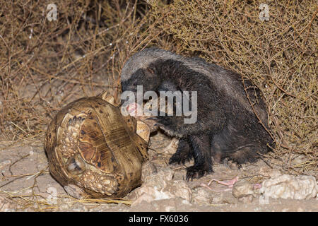 Honey Badger or ratel (Mellivora capensis) eating leopard tortoise (Geochelone pardalis), Kgalagadi, South Africa - Stock Photo