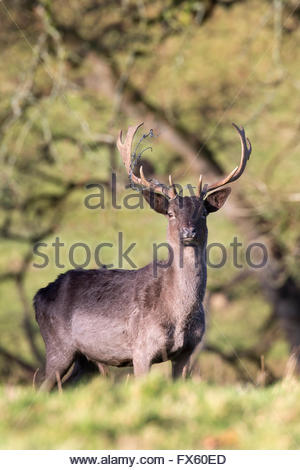 Melanistic fallow deer buck (Dama dama) with barbed wire caught in antlers, Levens deer park, Cumbria, UK - Stock Photo