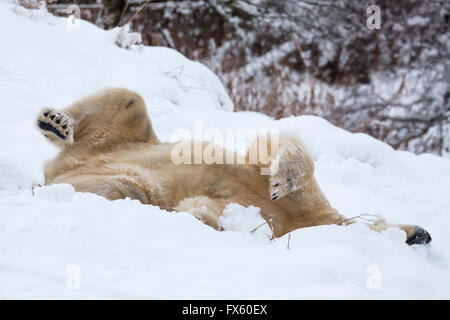Polar bear (Ursus maritimus) male, captive, Highland Wildlife Park, Kingussie, Scotland, UK - Stock Photo