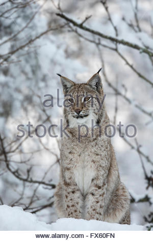 Northern lynx (Lynx lynx lynx), captive, Highland Wildlife Park, Kingussie, Scotland, UK - Stock Photo