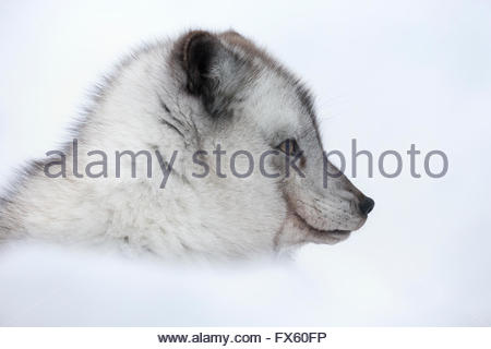 Arctic fox vixen (Vulpes lagopus), captive, Highland Wildlife Park, Kingussie, Scottish Highlands, UK - Stock Photo