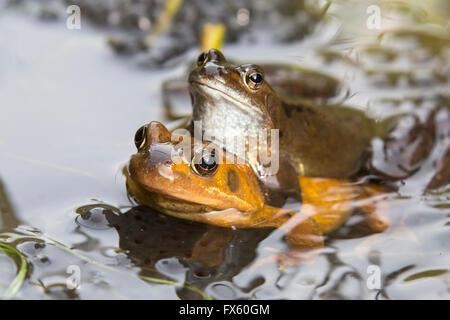 Common frogs (Rana temporaria) mating, Northumberland, UK - Stock Photo