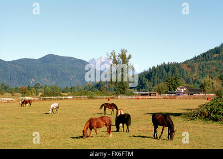 Horses grazing in Pasture on Fraser Valley Farm, BC, British Columbia, Canada - Stock Photo