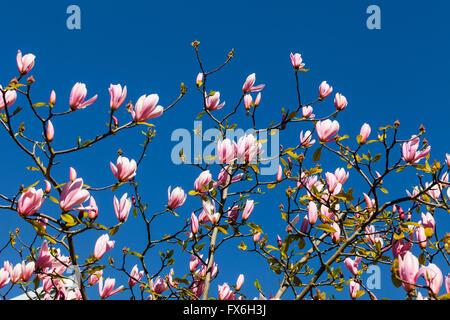 Magnolia blossoms against a vivid blue sky - Stock Photo