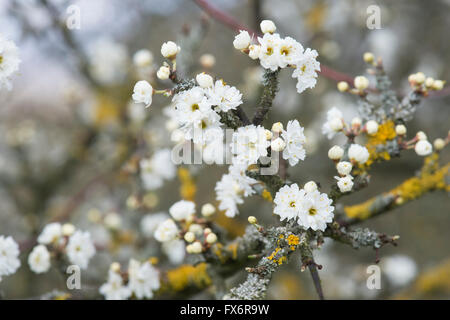 Prunus Spinosa Plena. Double flowered Blackthorn / Sloe tree blossom - Stock Photo