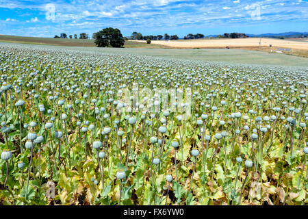 Poppies cultivated for the pharmaceutical industry, near Boat Harbour, Tasmania, Australia - Stock Photo