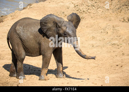 African Elephant (Loxodonta africana) after bathing in a river, South Luangwa National Park, Zambia - Stock Photo