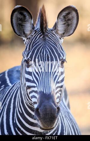 Crawshay's zebra (Equus quagga crawshaii), portrait, South Luangwa National Park, Zambia - Stock Photo