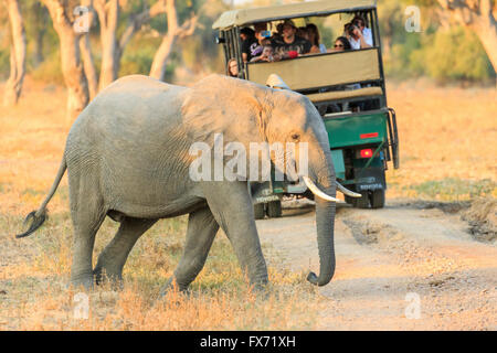 African Elephant (Loxodonta africana) in front of a safari car, South Luangwa National Park, Zambia - Stock Photo