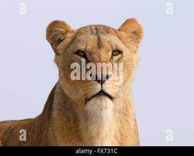 Mature female African Lion (Panthera leo) closeup portrait, set against a blue sky background - Stock Photo