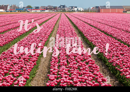 It s tulip time - inspirational phrase written on a picture of spring field in Holland - Stock Photo