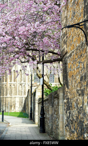 Prunus. Cherry tree in blossom in front of Ely Cathedral, Cambridgeshire, England - Stock Photo