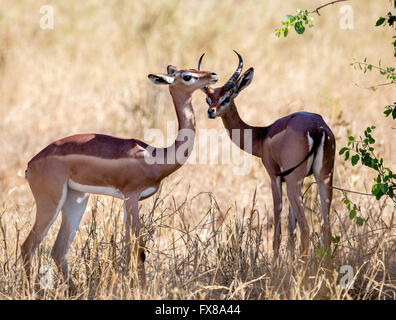Young male and female Impala antelopes Aepyceros melampus sheltering from the heat of the sun in Tsavo National - Stock Photo