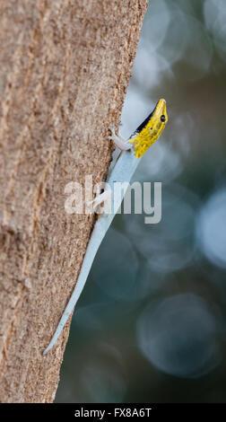 Dwarf Yellow Head Gecko Lygodactylus luteopicturatus climbing a tree trunk in the Tsavo National Park southern Kenya - Stock Photo