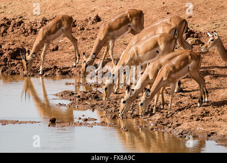Impala Aepyceros melampus antelope females and a young male drinking at a watering hole in Tsavo Naltional Park - Stock Photo