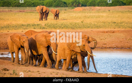 Herd of African elephants Loxodonta africanus arriving at a watering hole in the Tsavo National Park in Southern - Stock Photo