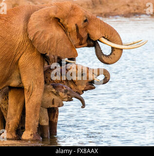African Elephant Loxodonta africanus family group taking on water at a waterhole in the Tsavo National Park Kenya - Stock Photo