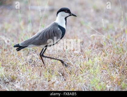 Spur Winged Lapwing or Plover Vanellus spinosus stirring grass with one foot to disturb insect prey - Voi Southern - Stock Photo