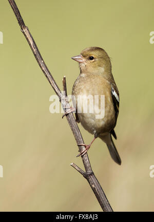 Young female Chaffinch Fringilla coelebs perched on a branch - Somerset  UK - Stock Photo