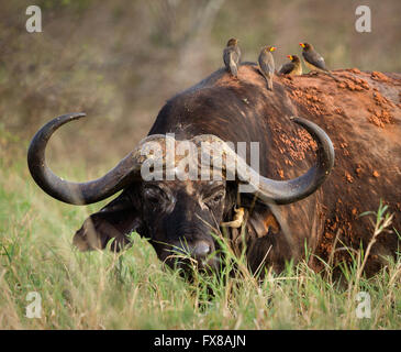 Battered old bull buffalo with attendant cleaning squad of Oxpecker birds one removing ticks from his ear - Tsavo - Stock Photo
