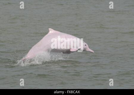 Chinese white dolphin off Hong Kong - Stock Photo