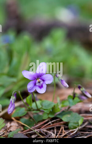 Violets on the woodland floor. - Stock Photo