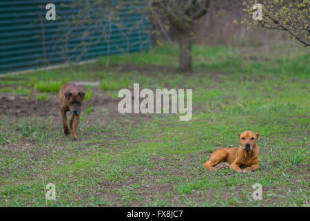Two pit bull resting in the garden - Stock Photo