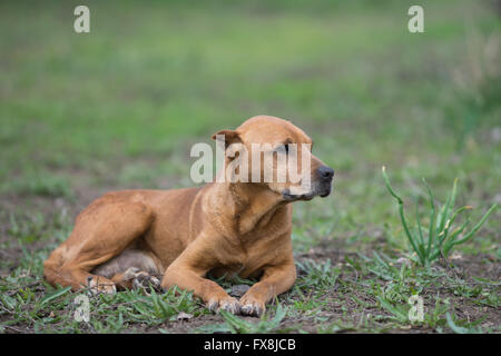 red pit bull lying on the lawn - Stock Photo