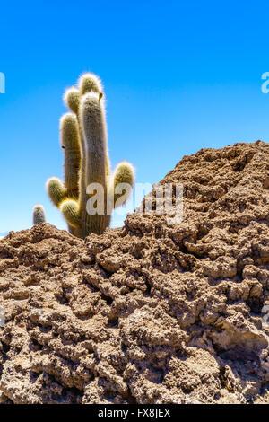 Cactus at Incahuasi Island in the Salar de Uyuni, Bolivia - Stock Photo