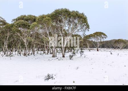 Australia, New South Wales, Snowy Mountains, Kosciusko National Park, Snow Gums, Eucalyptus pauciflora - Stock Photo