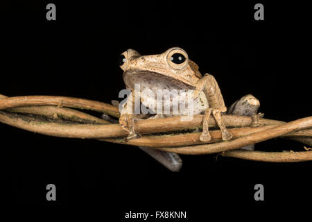 brown frog sitting on twisted branch - Stock Photo