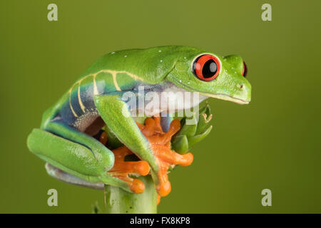 red eyed tree frog sitting on branch - Stock Photo