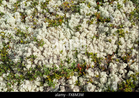Soil covered of white soft lichens and small plants in Norway - Stock Photo