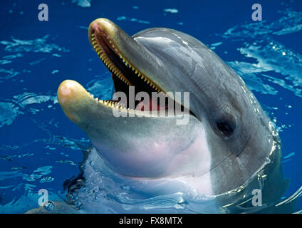 The common Bottlenose Dolphin  (Tursiops truncatus) found on the east coast of the USA - Stock Photo