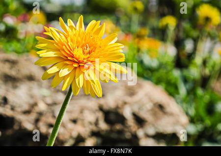 Close up beautiful gerbera flower in garden - Stock Photo