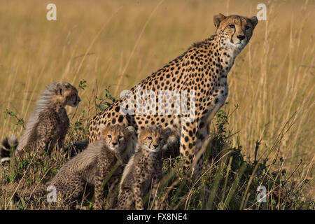 Wild cheetah mother with her cubs, sitting on a termite mound the grasslands of Masai Mara in Kenya, Africa Stock Photo