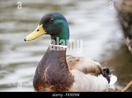 Mallard or wild duck - Anas platyrhynchos, adult male - Stock Photo