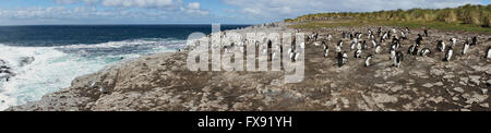 Rockhopper Penguins on Bleaker Island in the Falkland Islands. - Stock Photo