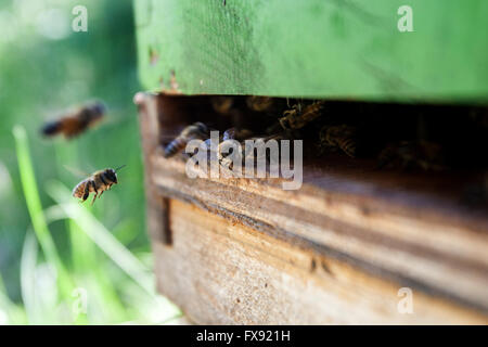 Honey bees fly around the bee hive in Harrowsmith, Ontario on June 14, 2012. - Stock Photo
