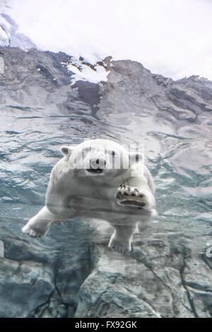 Polar Bear swimming underwater at the Journey to Churchill, Assiniboine Park Zoo, Winnipeg, Manitoba, Canada. - Stock Photo
