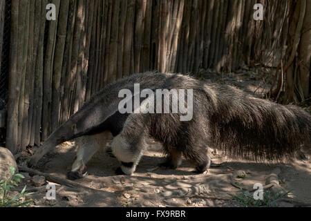 Giant Anteater (aka Ant Bear) Khao Kheow Open Zoo Si Racha Nr Pattaya Thailand S. E. Asia - Stock Photo