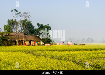 A farmers house standing in the middle of a yellow mustard field in the Terai plains, Sauraha, Chitwan, Nepal - Stock Photo