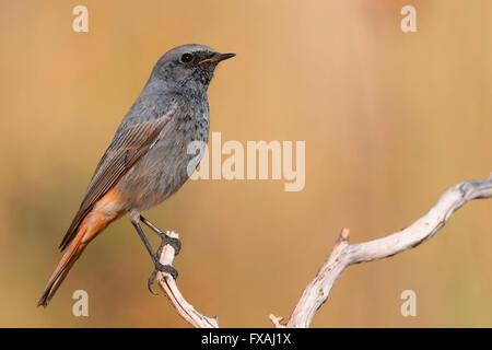 Black Redstart (Phoenicurus ochruros giraltariensis), male perched on a branch, Montecorvino Rovella, Campania, - Stock Photo