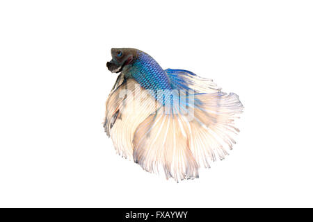 betta splendens or siamese fighting fish isolated on white background - Stock Photo