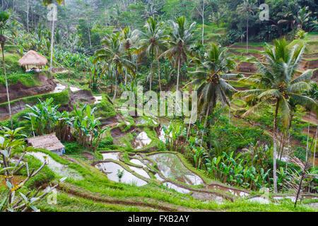 Tegallalang rice field. Bali. Indonesia, Asia. - Stock Photo